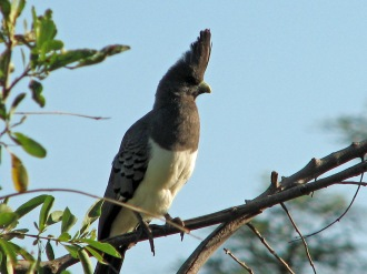 White Bellied Go-Away Bird