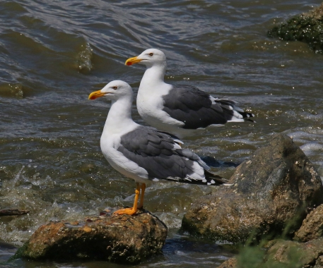 Yellow Footed Gulls Obsidian