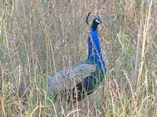 25 Indian Peafowl
