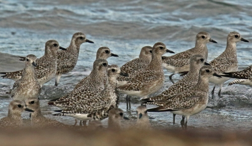 Black Bellied Plovers1