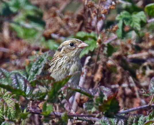 LeConte's Sparrow5
