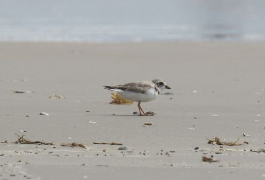 Piping Plover 1