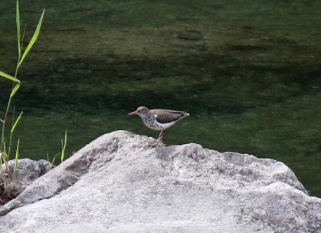 Spotted Sandpiper Breeding