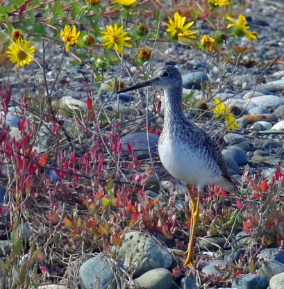 Yellowlegs and Yellow Flowers1