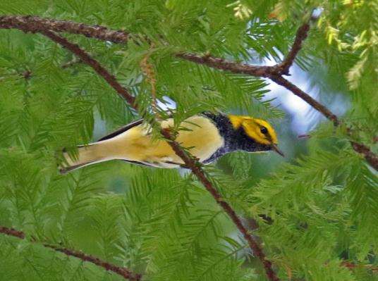 Black Throated Green Warbler2