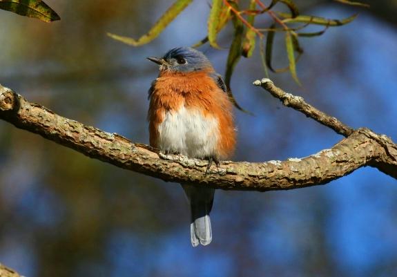 Eastern Bluebird 4