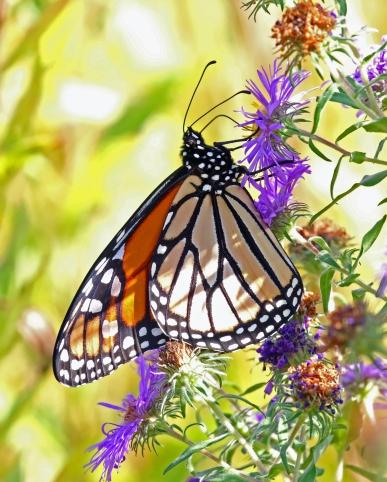 Monarch Butterfly1a