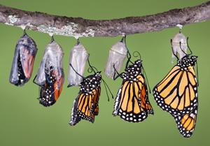 monarch-emerging