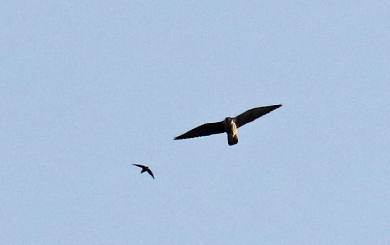Peregrine and Chimney Swift