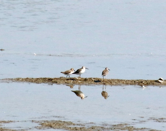 Stilt Sandpipers and Dunlin