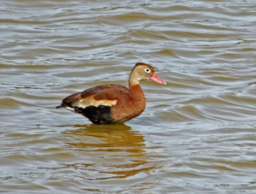 Black Bellied Whistling Duck1