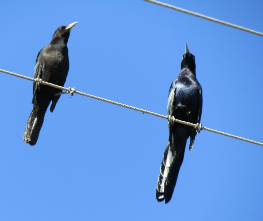 Great Tailed and Boat Tailed Grackles.jpg