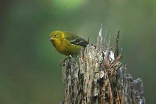 Pine Warbler2