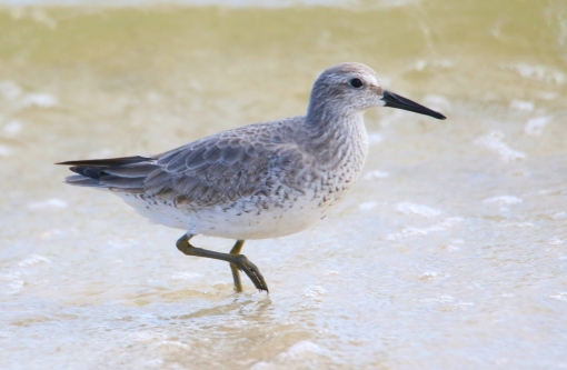 Red Knot r1