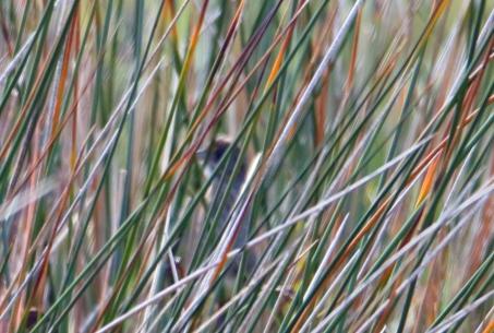 Seaside Sparrow 2