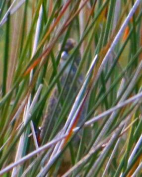 Seaside Sparrow 3r