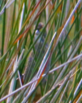 Seaside Sparrow 3r