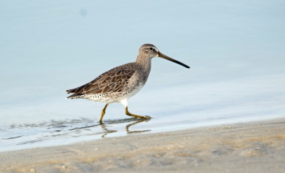 Short Billed Dowitcher1