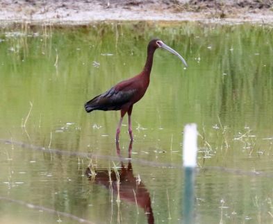 White Faced Ibis in Pond