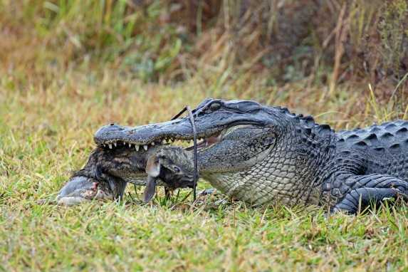 Alligator with Prey1