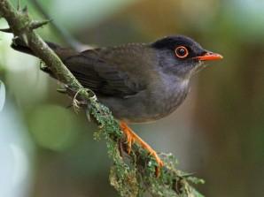 Black Headed Nightingale Thrush - Copy