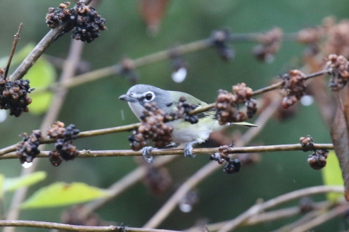Blue Headed Vireo 2