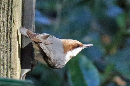 Brown Headed Nuthatch GA