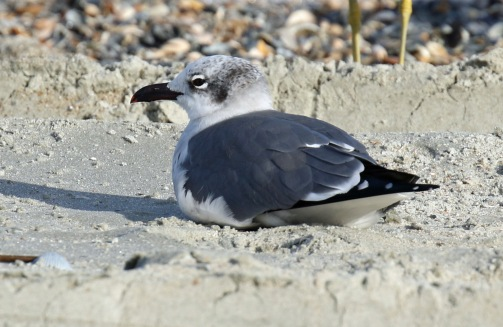 Laughing Gull - Copy