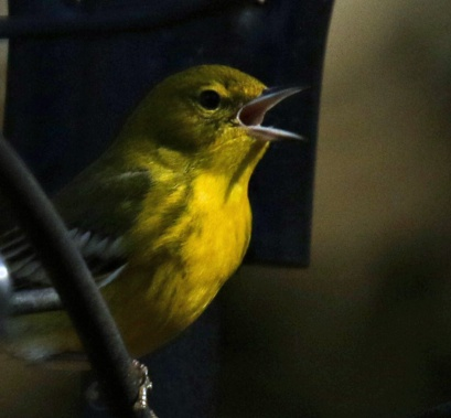 Pine Warbler Singing