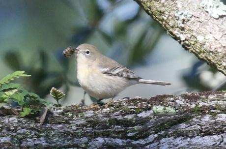 Pine-Warbler.jpg