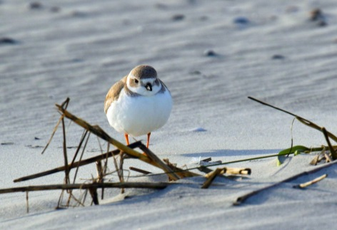 Piping Plover Tybee