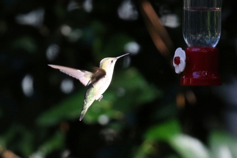 Ruby Throated Hummingbird 3.jpg