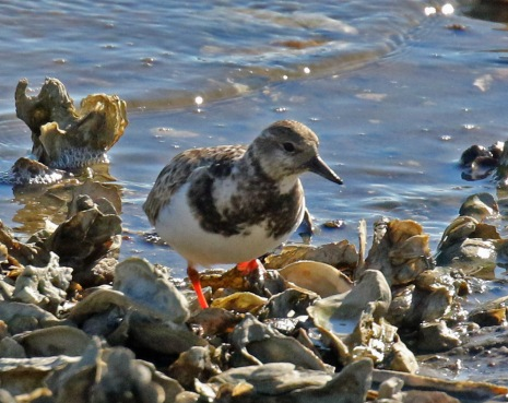 Ruddy Turnstone Landings Marina