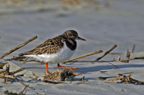 Ruddy Turnstone Tybee
