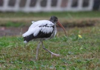 White-Ibis-Immature-.jpg