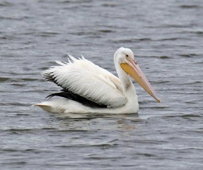 White Pelican.jpg