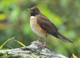 White Throated Thrush