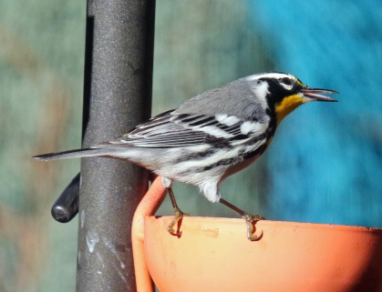 Yellow Throated Warbler1