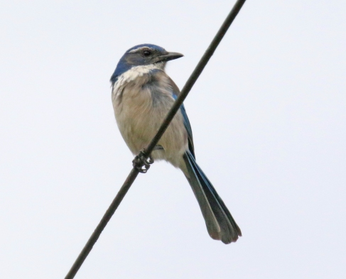 California Scrubjay1