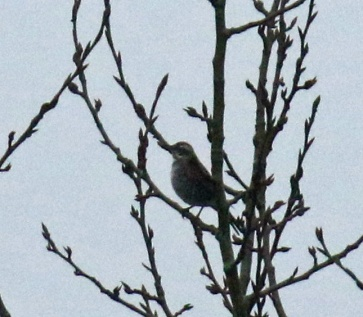 dusky thrush tree1