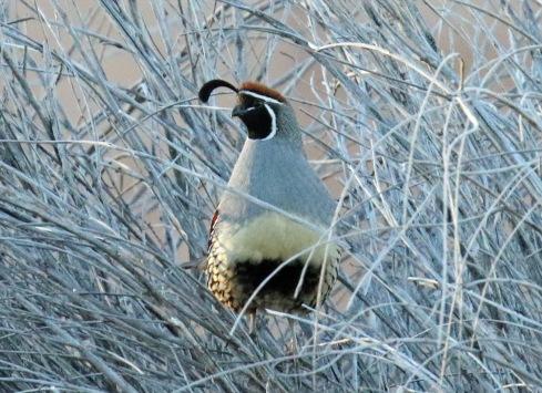 gambel's quail1