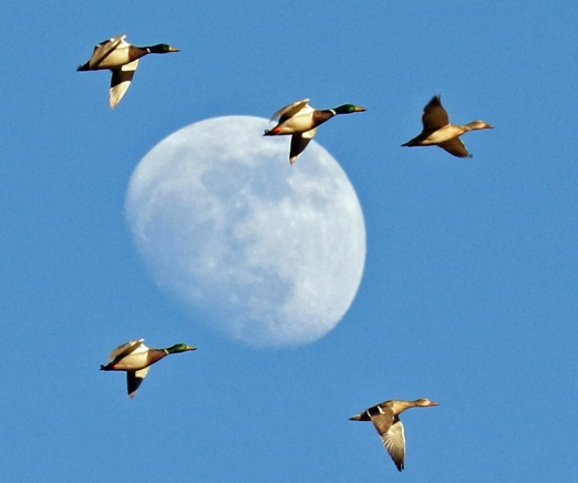 moon mallards