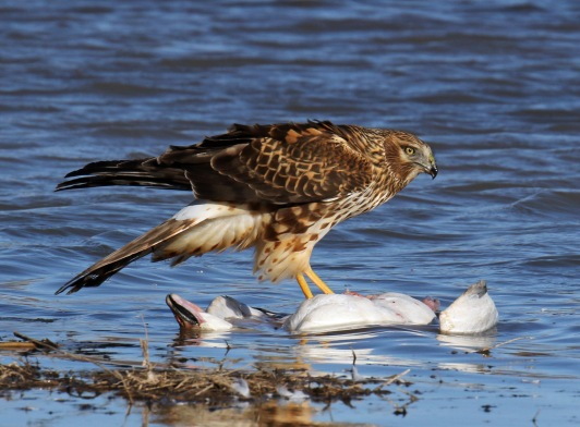 northern harrier on snow goose