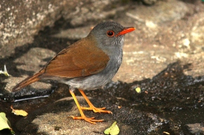 orange-billed-nightingale-thrush