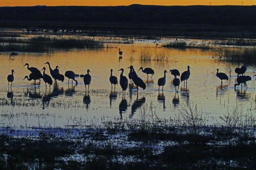 sandhill crane sunset