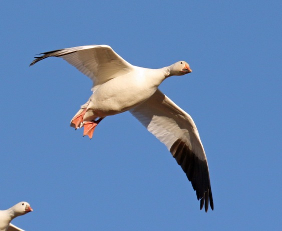 snow goose flight1