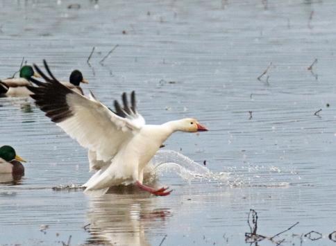 Snow Goose