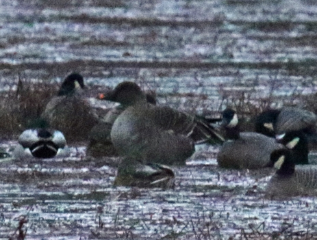 Tundra Bean Goose First Photo