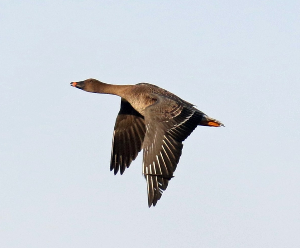 Tundra Bean Goose Flight