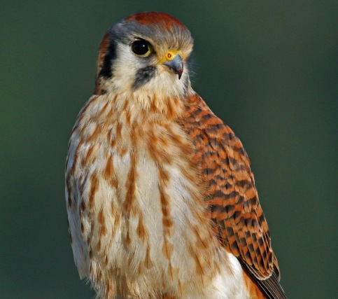 american kestrel close1